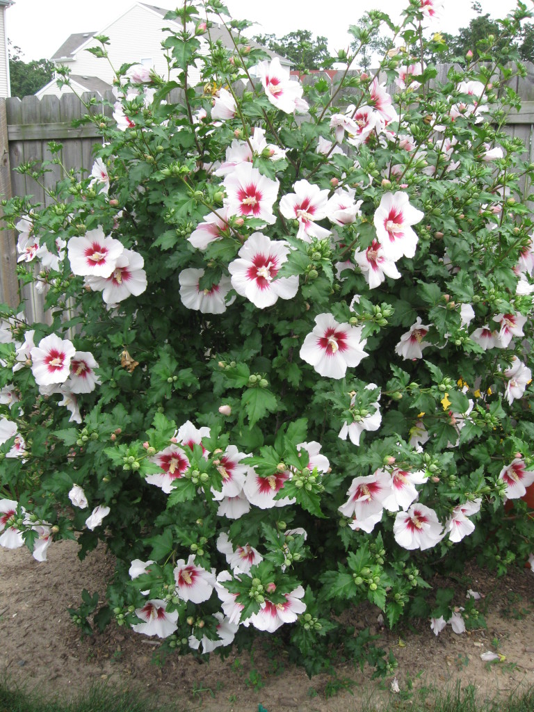 Rose of Sharon - White w/ Red Center (35 seeds) Attracts Hummingbirds